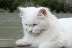 Goody-goody white cat. Stock Photo