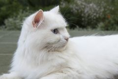 Goody-goody white cat. Royalty Free Stock Images