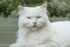 Goody-goody white cat. Royalty Free Stock Image
