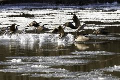 Gooes in bevroren rivier die aan vlucht vliegen royalty-vrije stock foto