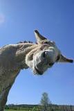 Goofy Donkey Stock Images