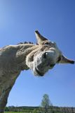 Goofy Donkey. Hilarious Donkey shot  craning neck over camera Stock Images