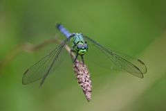 Goofy dragonfly Royalty Free Stock Photography