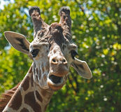 Goofy Giraffe Stock Photo