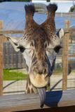 Goofy Giraffe Portrait Stock Photography