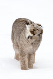 Goofy looking lynx during neck stretch. Win winter Stock Image