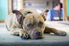 Goofy looking pitbull dog. Stock Photos