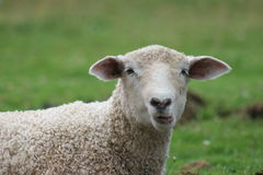 Goofy Sheep Face Stock Image