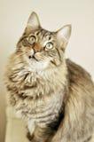 Goofy Tooth Cat Stock Photo
