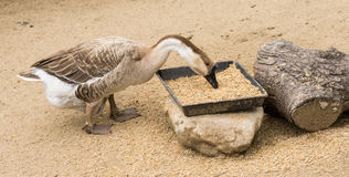 Goos mating reproducing geese birds farm Stock Images