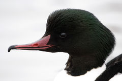 Goosander Stock Photo