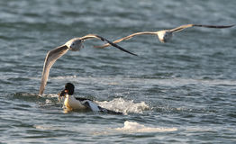 Goosander with fish Stock Images