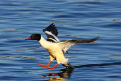 Goosander male Stock Photography