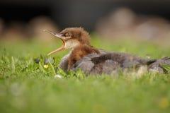 Goosander (merganser) chick Stock Image