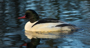 Goosander (Mergus merganser) Stock Photo