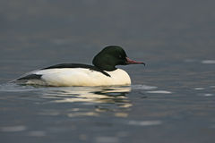 Goosander, Mergus merganser Royalty Free Stock Photos