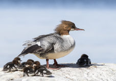 Goosander. With pups in the stone Royalty Free Stock Images