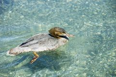 Goosander swimming. Background of clear water and pebbles Stock Photo