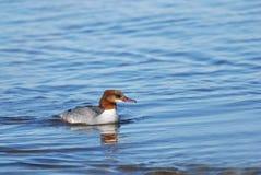 Goosander swimming. Female Goosander swimming near the seashore Stock Photo