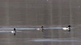 Goosander stock video