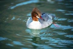 Goosander in water. Latin name : mergus merganser Stock Photo