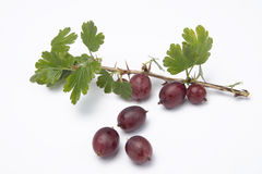 Goosberies. Three gooseberries and a branch Stock Images