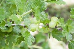Goosberry Стоковые Изображения RF