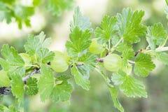 Goosberry oder grossularia Stockfoto