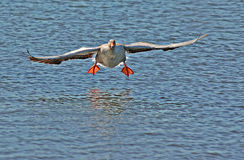 Goose. A Canada Goose about to splash down on Henley Lake, Masterton, New Zealand Royalty Free Stock Photos