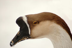 Goose . Stock Images