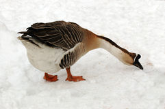 Goose. Stock Images