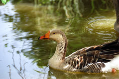 Goose. Portrait of a goose floating on a pond Stock Photo