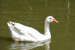 Free Goose Stock Photo - 12409220