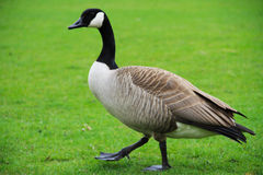 Goose. Closeup on a gray goose with black head and beak walking stock photography