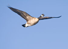 Goose. A wild goose flying flying in a blue sky Royalty Free Stock Image