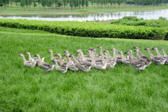 Goose. A group of goose on garden ,with grass and lake Royalty Free Stock Photo