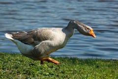 Free Goose Royalty Free Stock Image - 15035146