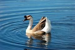 Goose. A goose floats serenely on a pond in Florida during the winter royalty free stock images