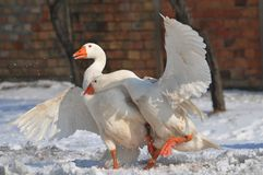 Goose. Domestic goose. fight two gander Stock Images