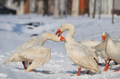 Goose. Flock of domestic geese in the snow Stock Images