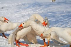 Goose. Flock of domestic geese in the snow Stock Photography
