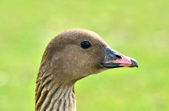 Goose. Close up of a pink footed goose head Royalty Free Stock Photos