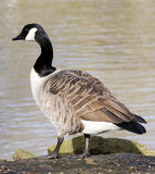 Goose. Standing by the water Royalty Free Stock Image