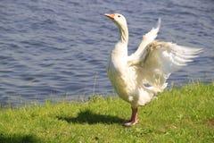Goose. A goose on the shore Royalty Free Stock Photos