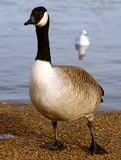Goose. Close up on goose in London park Stock Images