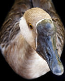 Goose. Looking up on a black background Royalty Free Stock Images