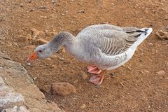 Goose. A goose looking for food Stock Photography