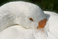 Goose. Closeup of sleeping goose Stock Images