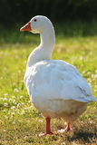 Goose Royalty Free Stock Photo