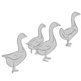 Goose. An a vector illustration of goose. Files included: AI8 EPS and JPG Stock Illustration
